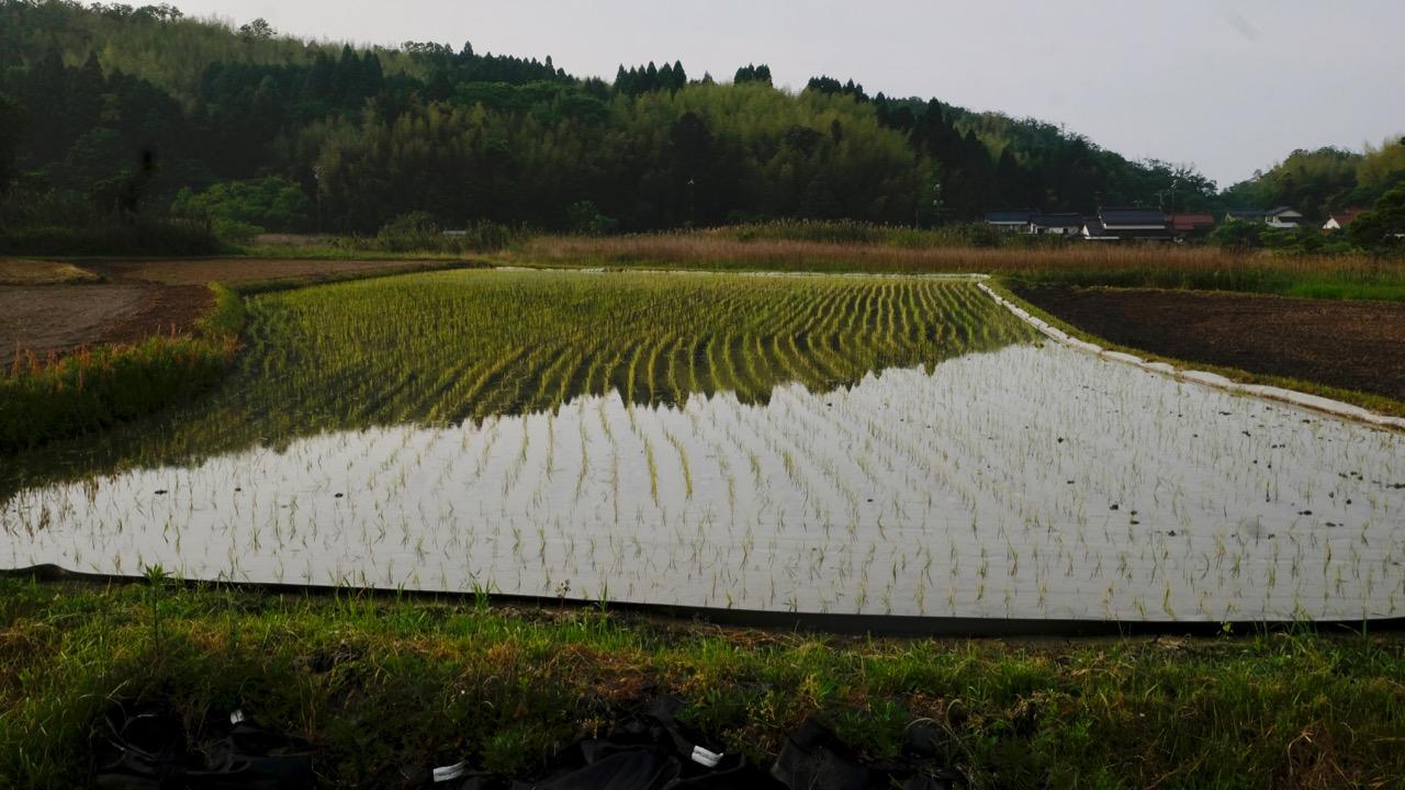田植え もち米です