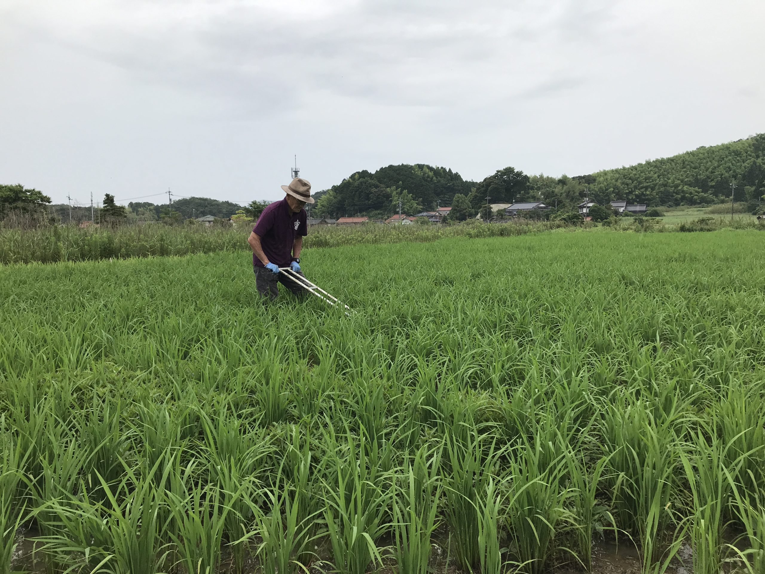 梅雨、田んぼで草をとる